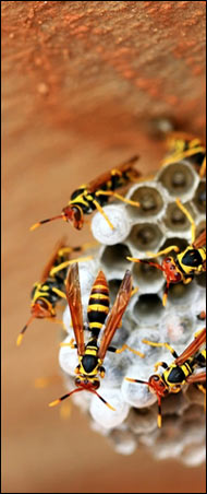 Josly Pest Control: Bee and wasp service